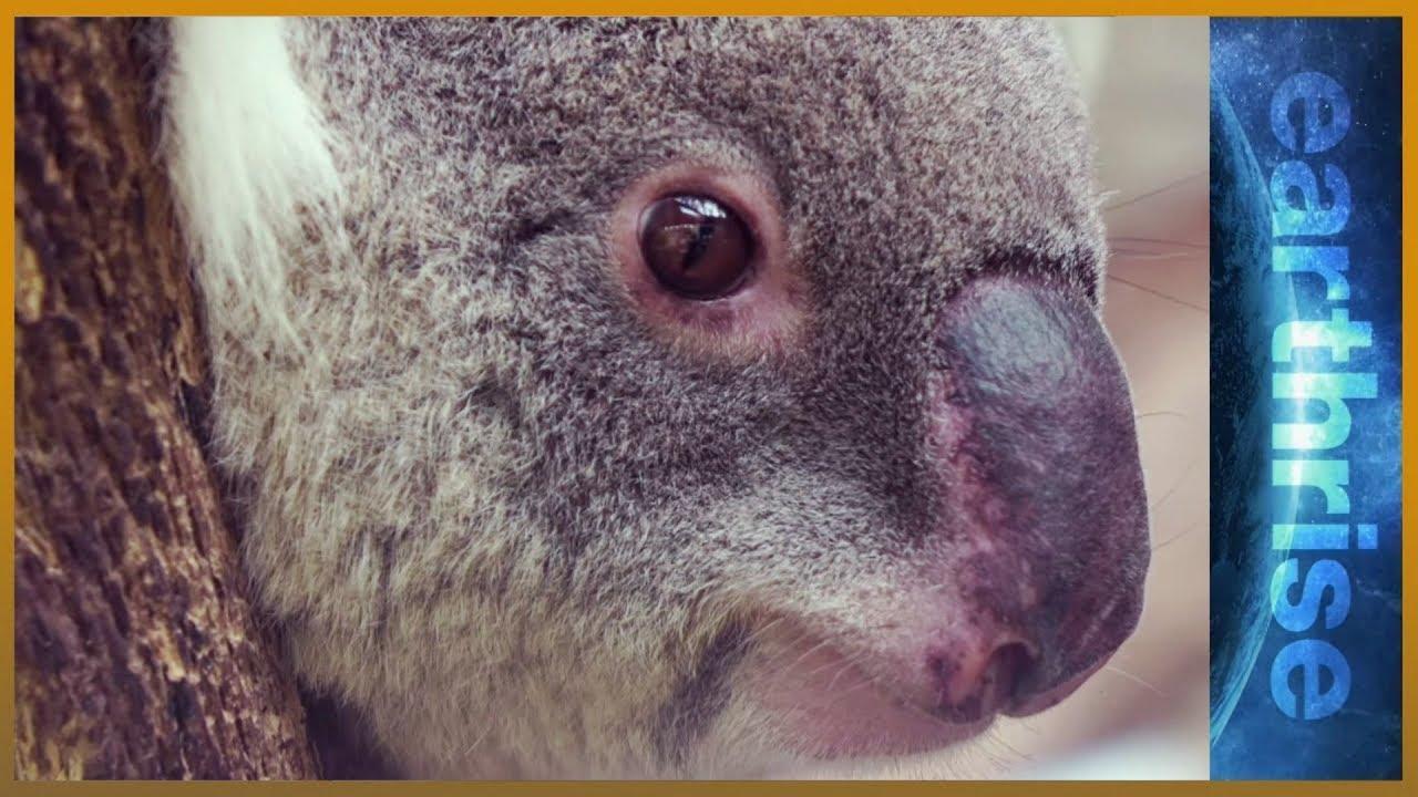 Life In The Urban Jungle: Can Australia Save Its Koalas? | Earthrise