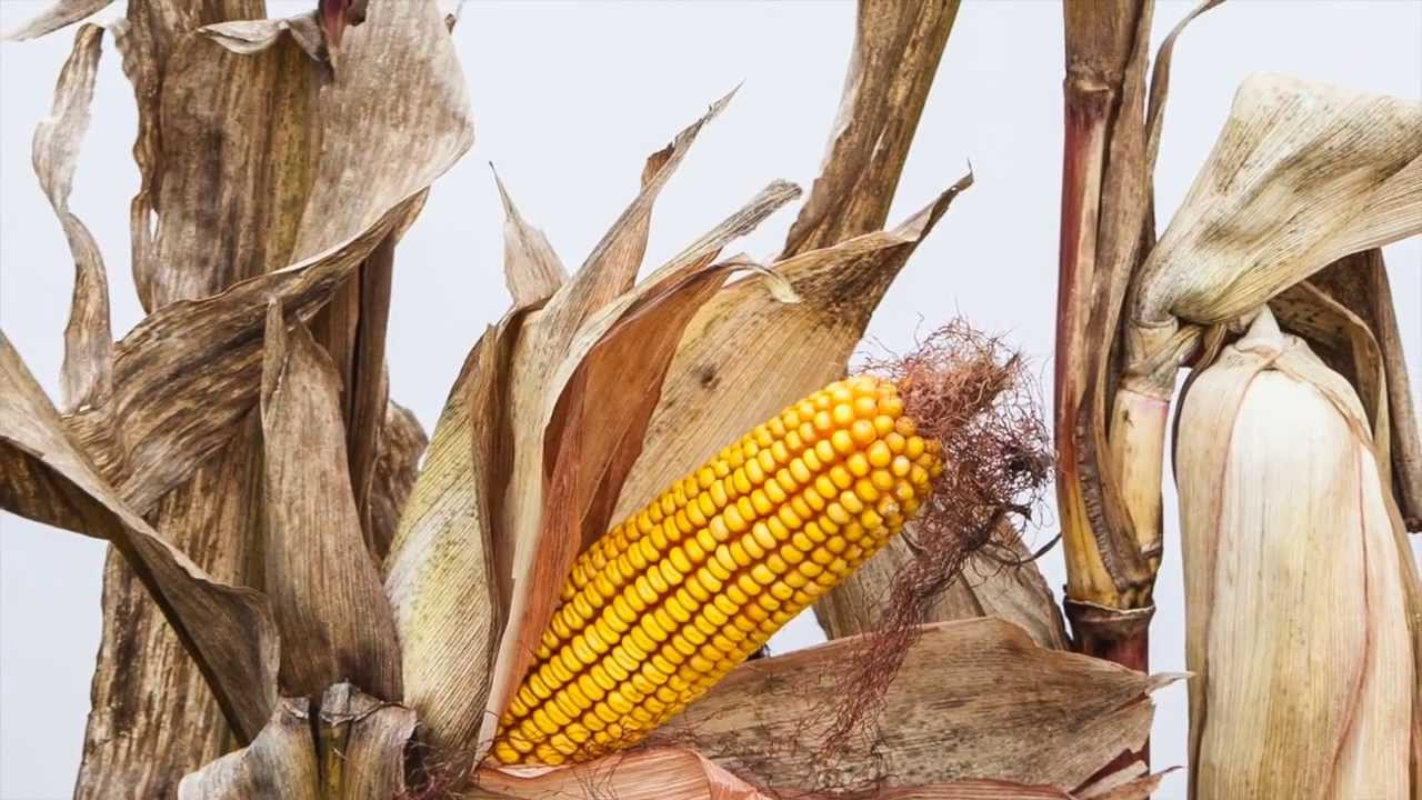 Monsanto Vs Farmers