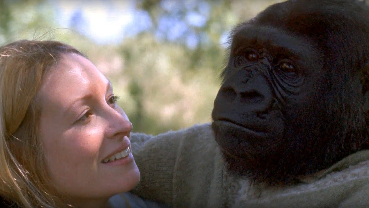 Did You Know There's A Talking Gorilla?