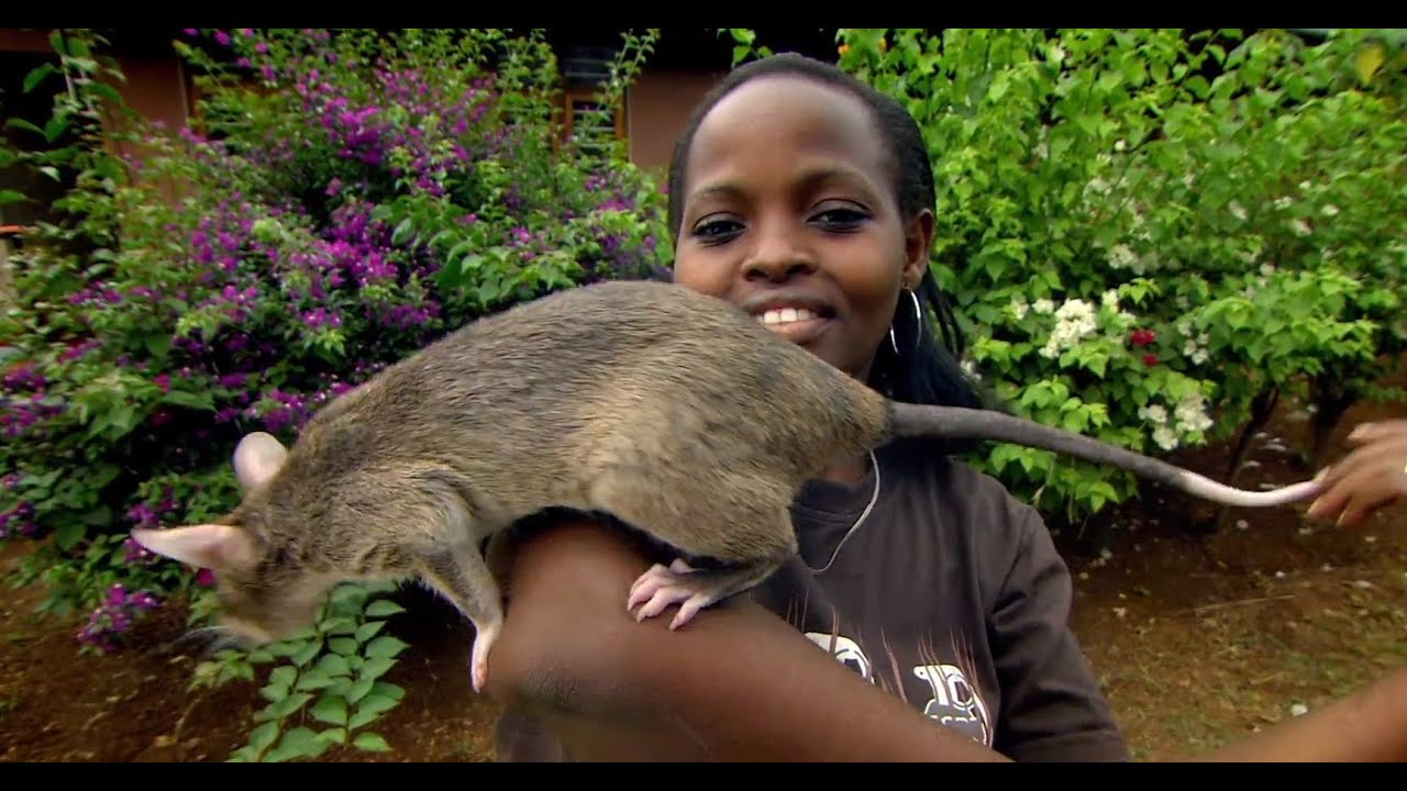 Giant Rats Can Detect Tuberculosis!   Extraordinary Animals   Series 2   Earth