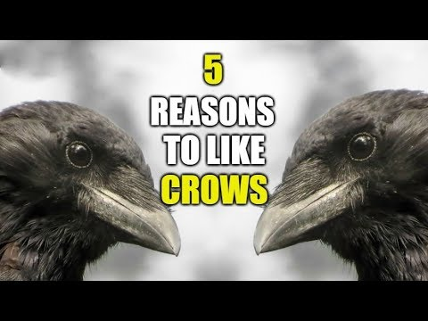 5 Reasons To Like Crows (American Crow)