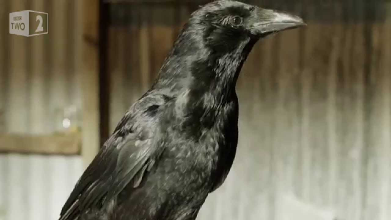 Gift Giving Crows – World's Weirdest Events: Episode 5 – BBC Two