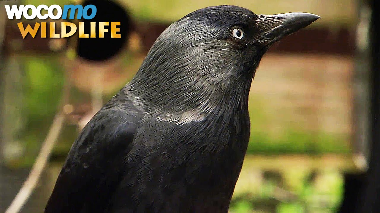 Ravens and crows – the most intelligent birds in the world (animal documentary in HD)
