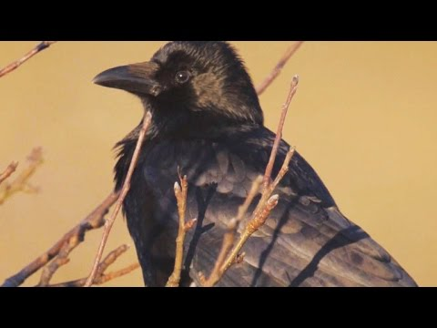 Soaring Intelligence And Surprising Warmth Of Crows