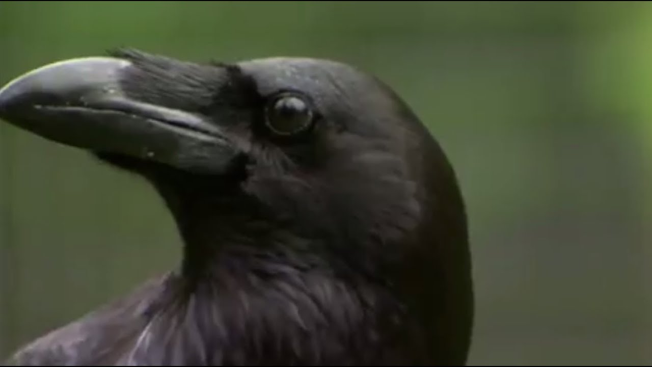 The Raven: Stealing, Spying and Bluffing | Extraordinary Animals | BBC Earth